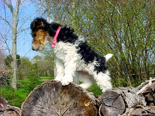 Alpine, fox-terrier poil dur, wire-haired fox terriers