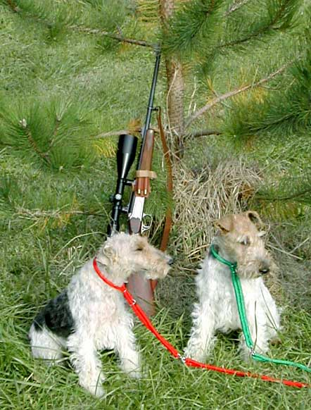 fox-terrier poil dur, wire-haired fox terriers